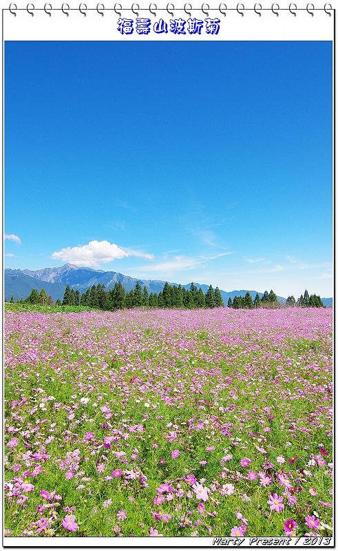 福壽山。早楓﹠波斯菊花海